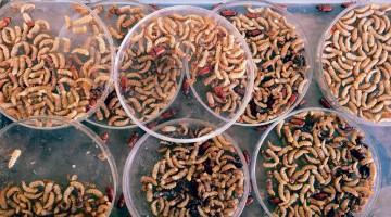 22/08/2017/ Cultivo de insectos para consumo alimenticio humano / Fotografía: JOHN DURAN